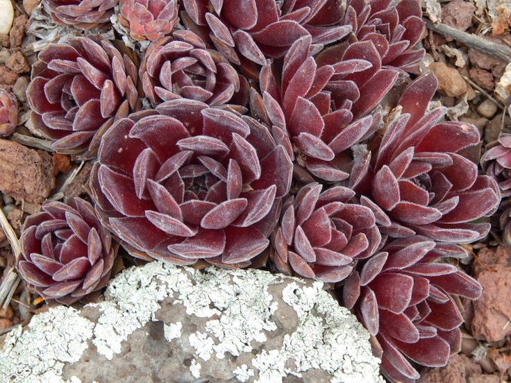 Find This Pin And More On SEMPERVIVUMS   ROCK GARDEN DELIGHTS By  Strongsalpines.