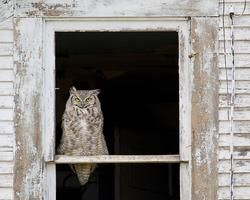 Who's There - Great horned owl in the window of an abandoned house in Saskatchewan