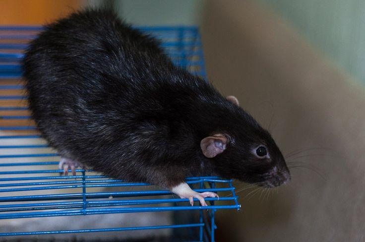vk.com/fondhelprats #cute #rat #petrats #питер #спб #хочудомой #помощь #крыса #крысы #животные #фото #фпбк