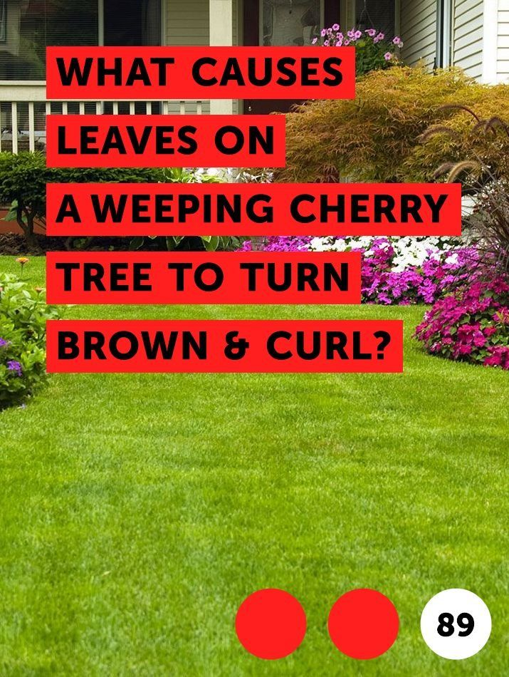Learn What Causes Leaves On A Weeping Cherry Tree To Turn Brown