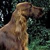 AKC News - Luck Of The Irish! American Kennel Club Celebrates Irish Dog Breeds In Spirit Of St. Patrick's Day