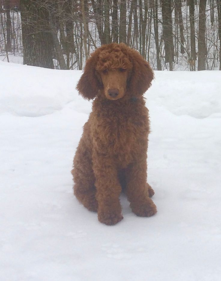 Parti poodle puppies for sale