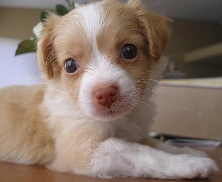 pomeranian/chihuahua mix   Pomeranian Chihuahua Mix Puppies