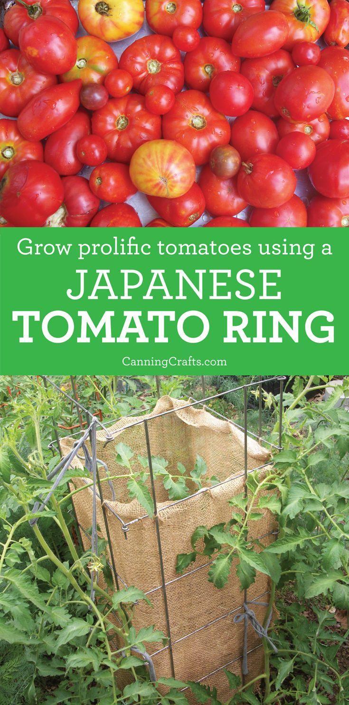 Japanese Tomato Ring Growing