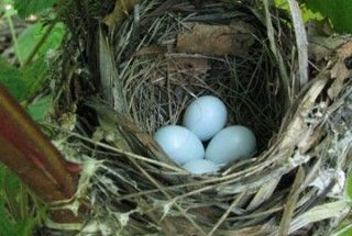 A birds next with eggs in it