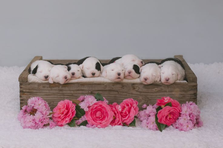 old english sheepdog puppy, snowdowne, oes breeder, pet photographer portland, shannon hager photography