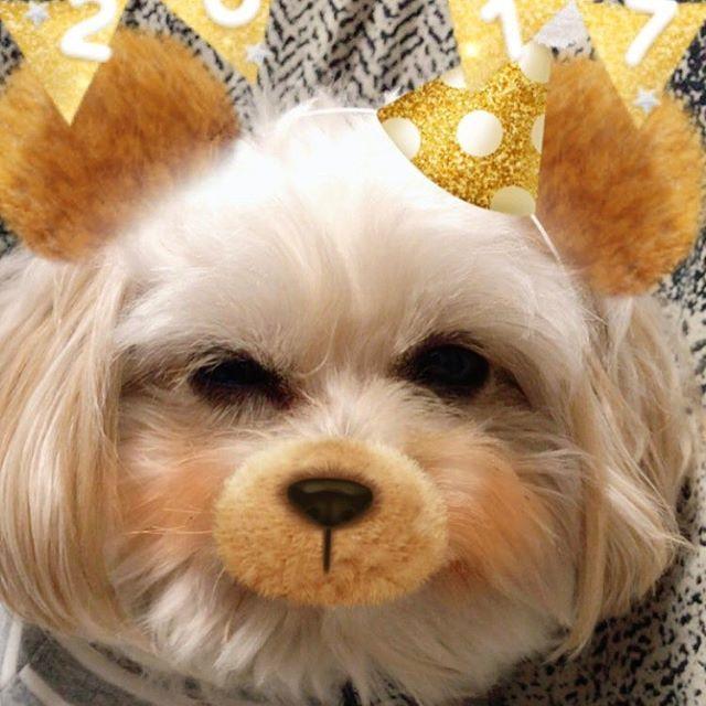 おやすみなさい。  #ポメプー #ポメラニアン #プードル #オス #ラミ #愛犬 #あまえんぼ #可愛い #もふもふ #ミックス犬 #ハーフ犬 #20140531 #2歳 #癒し #親バカ #滋賀から来た #ブリーダーは毛芝さん #パテラ