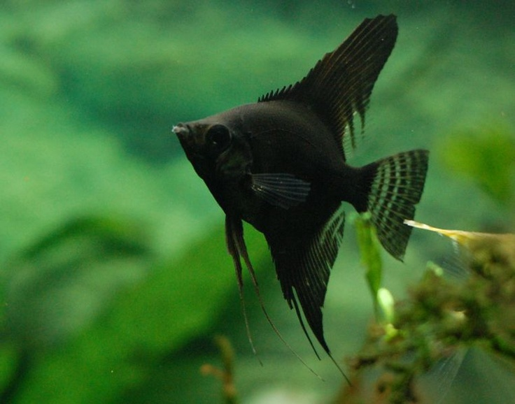 black angelfish i 39 d like to have at least two angelfish