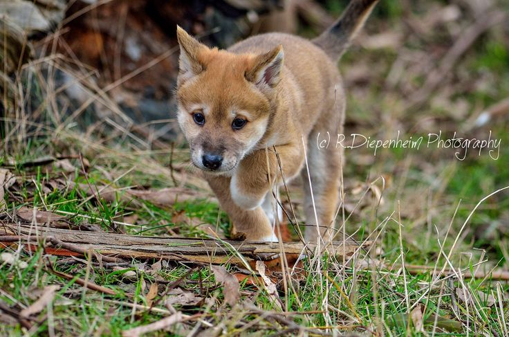 https://flic.kr/p/vADPu5 | Red dingo puppy playing in paddock