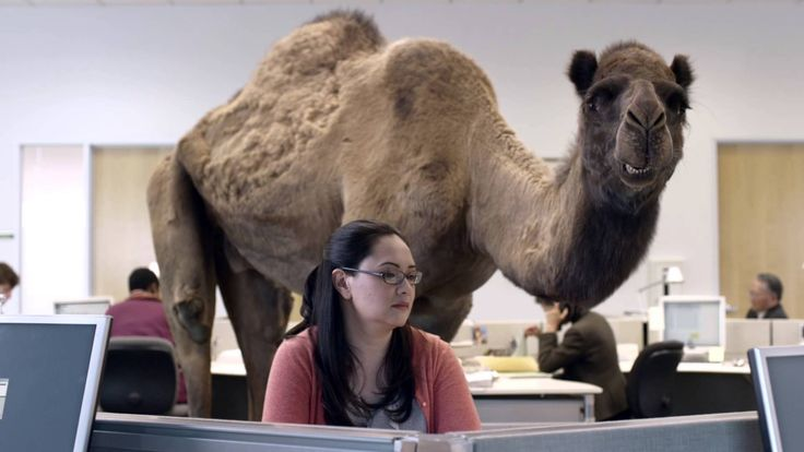 """One of the greatest commercials.  This, and the """"Trouble"""" commercial by Travelers.  GEICO Hump Day Camel Commercial - Happier than a Camel on Wednesday"""