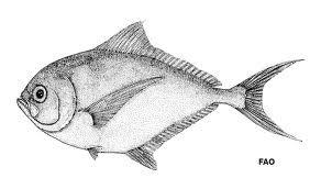 peces chilenos - reineta