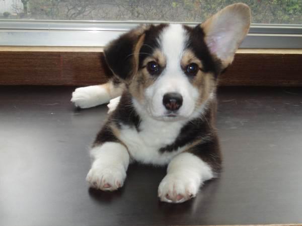 1447 Best Dogs Corgis Images On Pinterest Corgi Puppies
