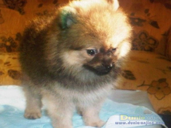 pomeranian sheepdog photo   Dunia Anjing   Jual Anjing Pomeranian - Mini Pom Harga Terjangkau