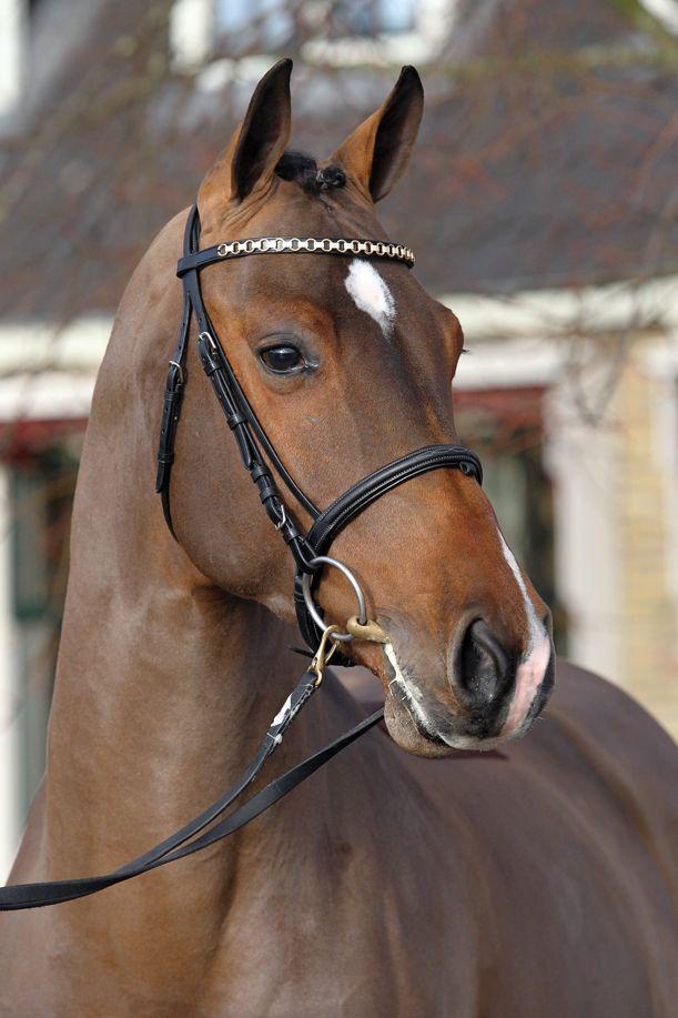 Dakota VDL 2008 brown Holsteiner stallion. KWPN approved