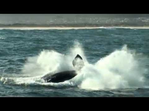 Whale Breaches and Close-ups in Hermanus - South Africa