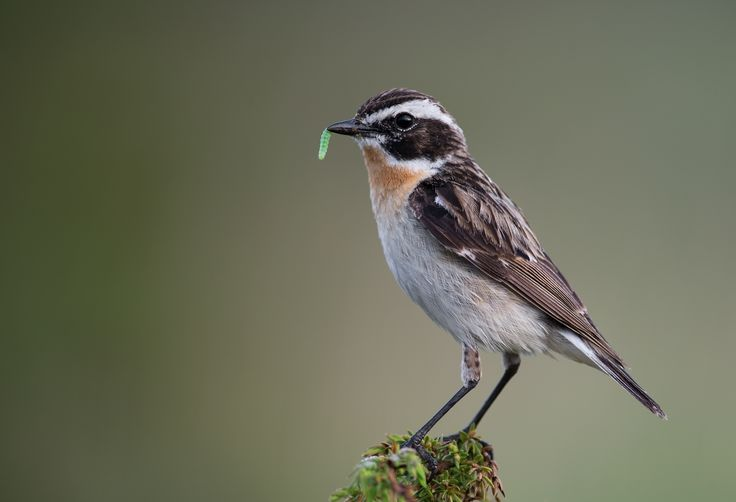 Whinchat, Norway by janmangorfagerland