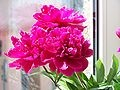 Peonies...my grandmom had a bush in her yard that was grown from my great-grandmother's bush