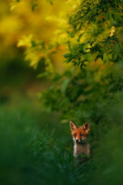 Credit: Hermann Hirsch/GDT Nature Photographer of the Year 2013 Overall and mammals category winner: Red Fox in sunset light by Hermann Hirs...