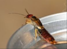 Get Rid of Earwigs: Earwig Control - Occasional Invaders - PestWorld