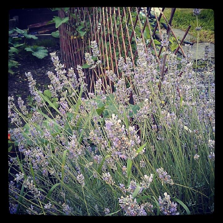my allotment lavender