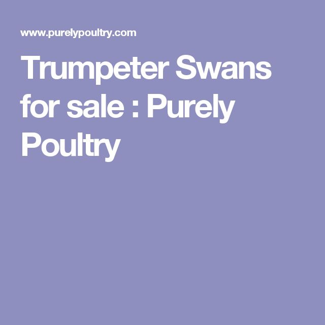 Trumpeter Swans for sale : Purely Poultry
