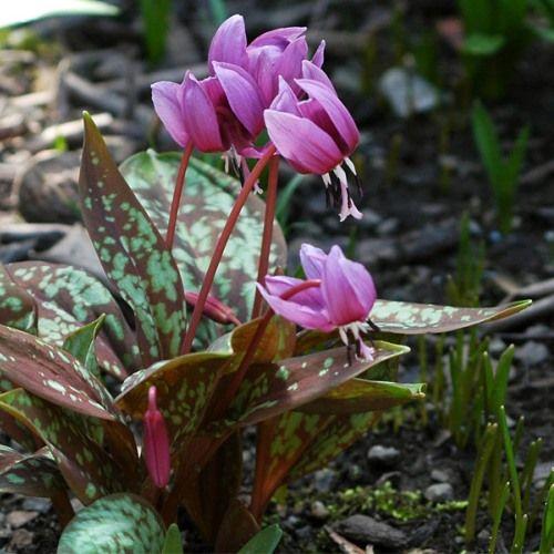*Erythronium dens-canis (Wilde hondstand)