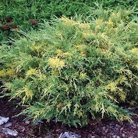 "Можжевельник средний ""Блю энд Голд"" (Juniperus media ""Blue and Gold"")"