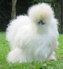 Image result for silkies chickens for sale