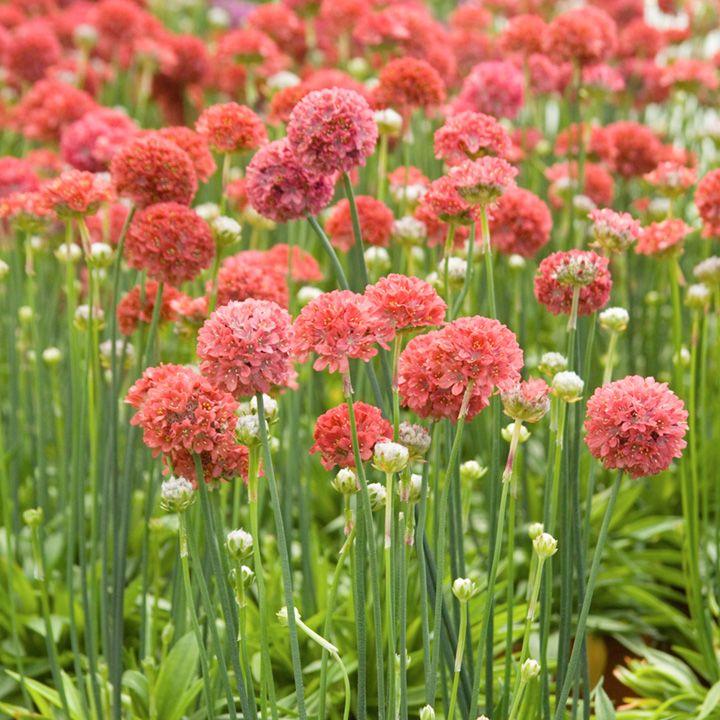 Armeria Maritima Plant Ballerina Red Plante Rocaille 640 x 480