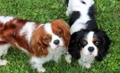 Food Recommendations for Cavaliers from Cavalier Rescue USA  2014