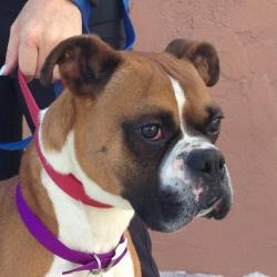 Petfinder Adoptable Dog | Boxer | Denver, CO | Tiberous