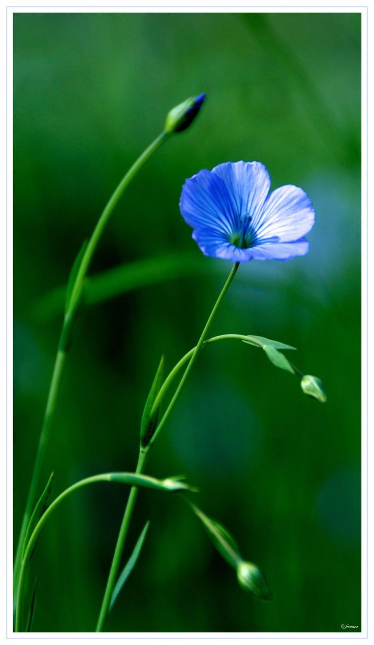 Blue Flaxflower by Frank Amez on 500px