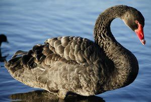 Bird Emblems of Australia: Western Australia