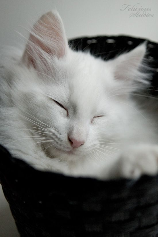 sleepy white norwegian forest cat in basket