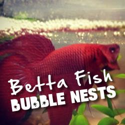 Everything you need to know about those bubbles on the top of your betta fish tank