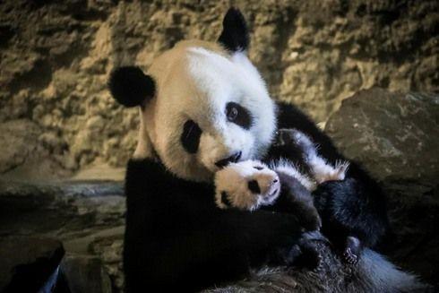 Grand événement à Pairi Daiza : première sortie publique du bébé panda géant