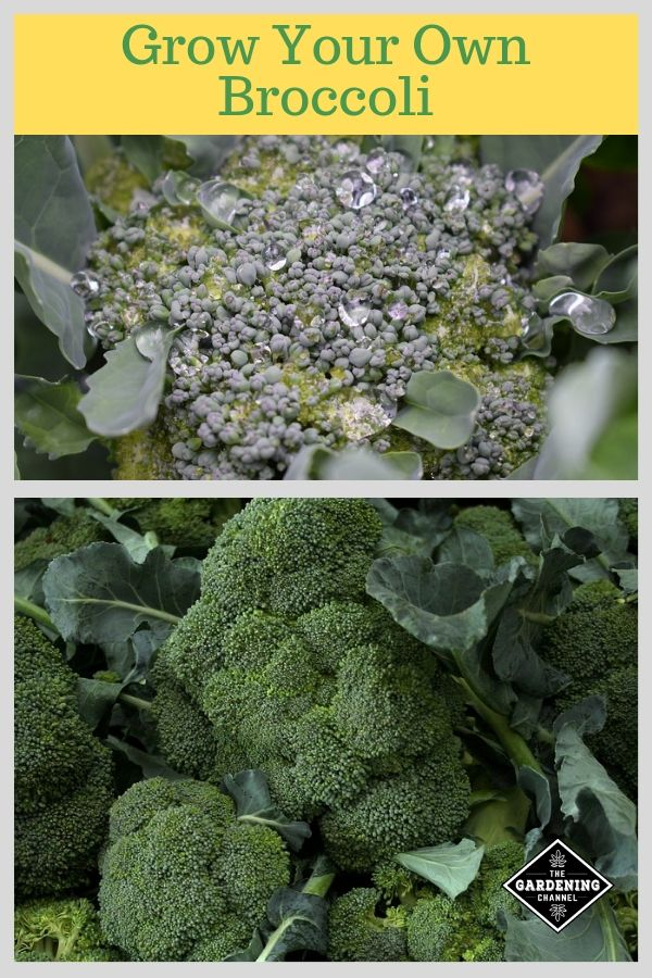 How To Grow Broccoli Home Vegetable Garden Vegetable Garden