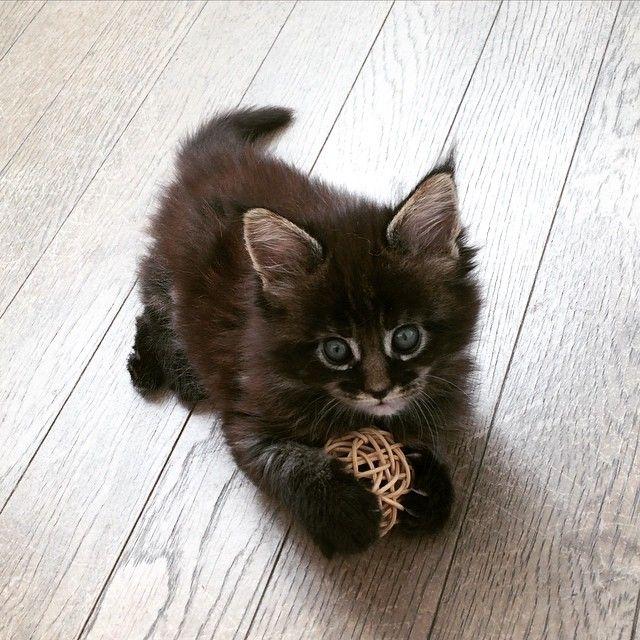 2015.5.21木 ナイス キャッチ⚾️✨ Take a chance! イーヨー #里芋軍団 #mainecoon #mainecoons #メインクーン #CAT #CATS #CATSTAGRAM #INSTACAT #NEKO #ねこ #猫 #猫部 #PET #KITTY #KITTEN #子猫 #こねこ #ボール遊び #ナイスキャッチ #NICE #お気に入り #早朝の雷 #風が強い日