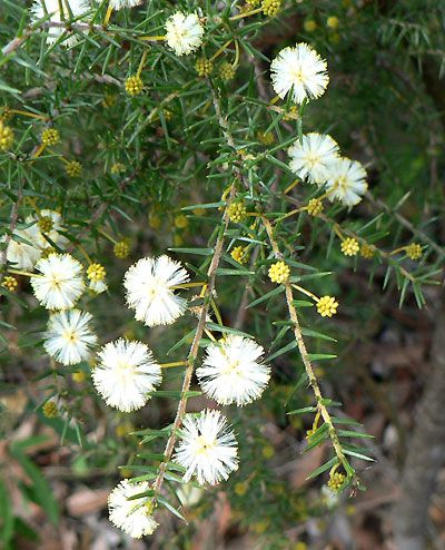 Acacia ulicifolia - Prickly Moses. Flowers in autumn and winter