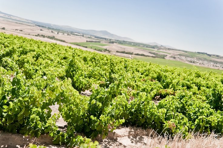 Our beautiful vineyards in the Swartland!