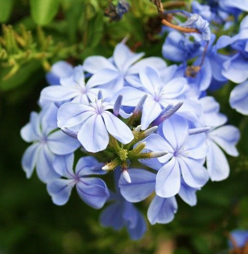 5 periwinkle flowers can 39 t seem to get enough of this for What colour roses can you get