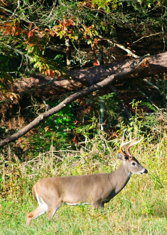 213 Best Images About Smoky Mountain Wildlife On Pinterest