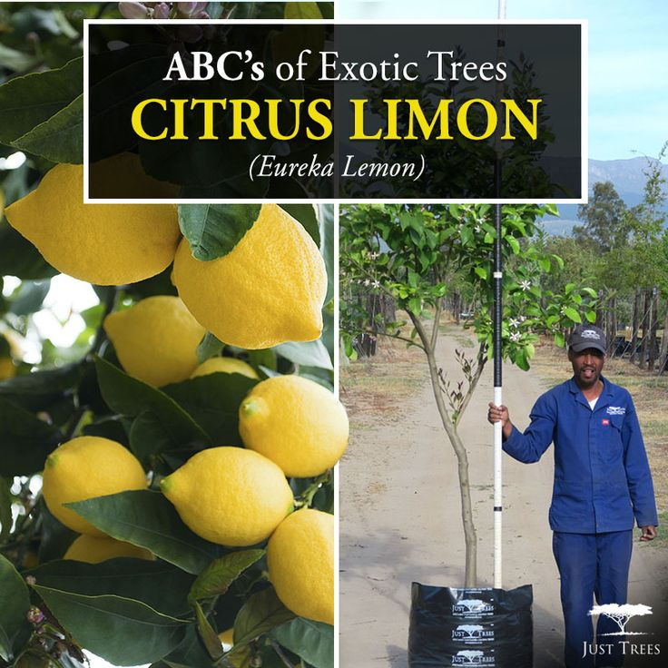 Let's continue with the ABC's of Exotic Trees. Today we're exploring the Citrus limon or Eureka Lemon. This evergreen originally comes from Asia and is commercially grown in countries with warmer climates worldwide. They can reach up to 6m and have stout spines and of course their popular fruit lemons. When full of lemons it's bound to make an eye-catching tree especially in smaller gardens, it can also be used as a shade tree all year round. We currently stock 40L, 100L, 200L and 400L.