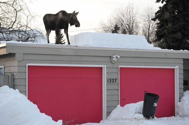 Moose on a roof! Only in Alaska.: My Sons, Hilarious Animal, Alaska, Moose, Garage, Backyard, Drinks, Calves, Rooftops