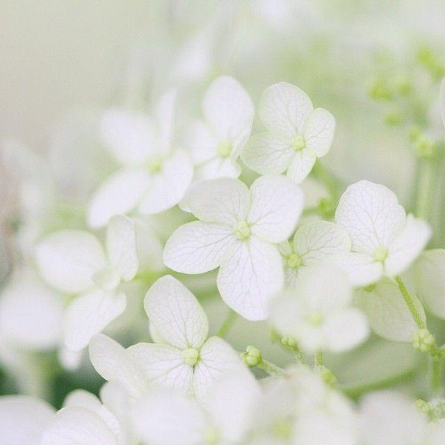 庭のアナベル ガーデン ガーデニング アジサイ あじさい 紫陽花 花 写真 庭 アジサイ ガーデニング