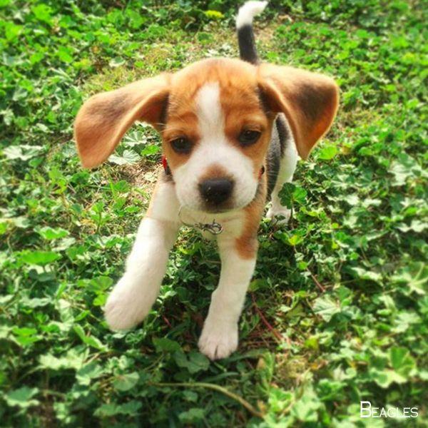 Beagles Forever Beaglesdaily Beagles Training Dogz Beagle Dog