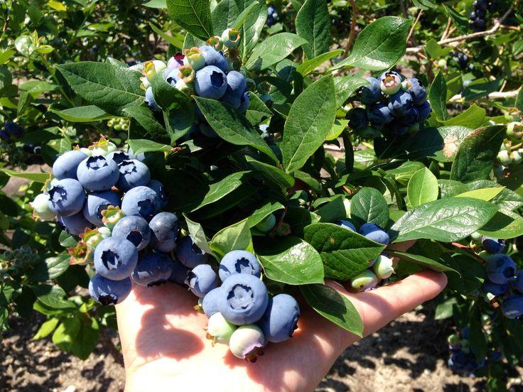 Premium Blueberry Bushes for Sale - DiMeo Blueberry Farms & Blueberry Plants Garden Center in NJ