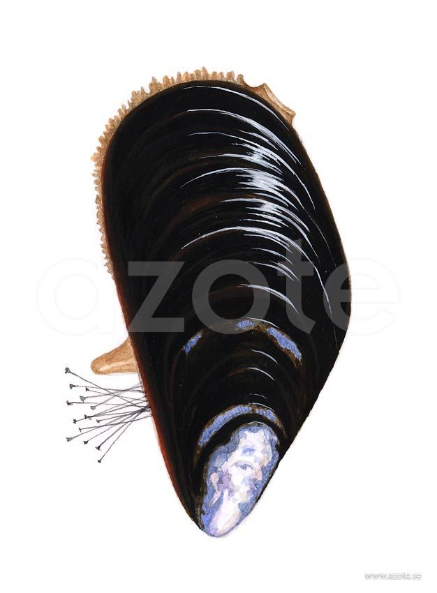 Blåmussla (Mytilus edulis) | Illustratör:  Camilla Bollner/Azote