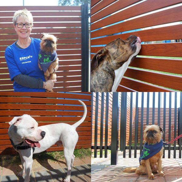 Get your fencing with Fencemakers and we'll donate to RSPCA WA in your honour!  http://bit.ly/2cgefxd  #dogs #perth #fencing Clockwise from top left: RSPCA Volunteer Janet Ingham with Hamish; Brody doing some final inspections; Hamish enjoying the view through the tubular fencing; and Tonka posing in front of the smartwood slat fencing.