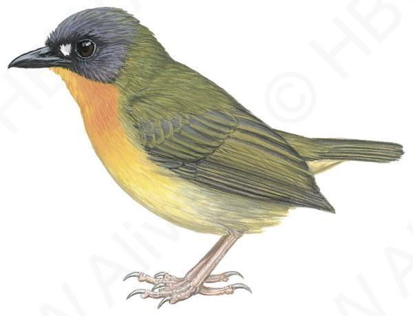 Olive-backed Forest-robin (Stiphrornis pyrrholaemus)   HBW Alive